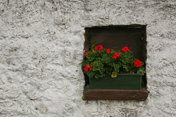 Ireland014 (2) Window box Red Geranium